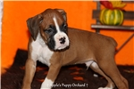 Picture of AKC Lucas Boxer