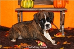 Picture of AKC Aiden Boxer