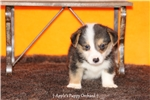 Picture of CKC Male Corgi Hooey