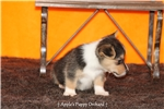 Picture of CKC Male Corgi Rue