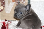 French Bulldog for sale