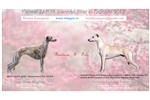 Picture of Whippet puppies kennel Zarya Czech republik