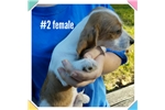 Picture of Akc chocolate and tan piebald female