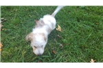 Picture of AKC min light red piebald wirehaire male  dachshun