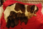 Picture of AKC chocolate and tan male wirehair dachshund