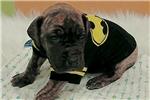 Picture of AKC Batman Euro Brindle Boy :)