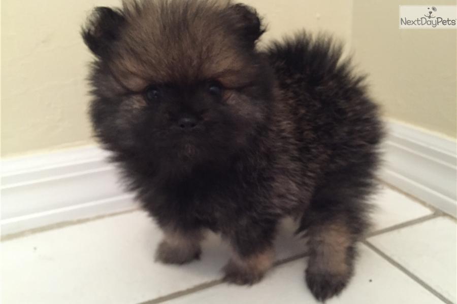 Black toy pomeranian puppy