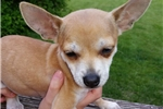 Picture of Chihuahua Male Puppy, Tan & white, 12 wks, $550.00
