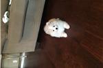 American Eskimo Dog for sale