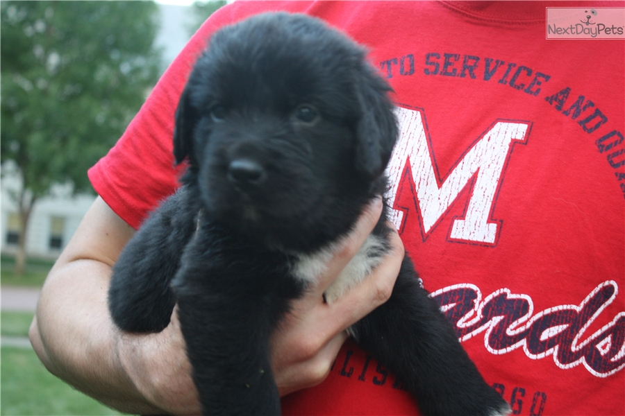 Newfoundland Dog For Sale In Iowa