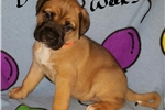 Picture of AKC Bullmastiff Puppy