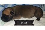 Picture of AKC Bullmastiff Puppy
