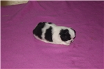 Picture of AKC Japanese Chin female girl #3