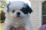 Picture of AKC Japanese Chin female girl #2