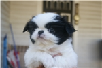 Picture of AKC Japanese Chin male boy #4