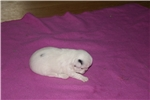 AKC Japanese Chin female girl #2 | Puppy at 6 weeks of age for sale
