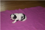 Picture of AKC Japanese Chin female girl #1