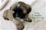 Picture of AKC Lhasa Apso