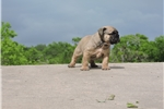 Picture of Gorgeous Male Olde English Bulldogge Puppy
