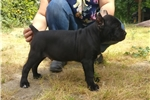 Picture of Cane corso in USA