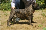 Picture of Cane corso puppies in united States