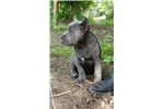 Picture of Cane corso puppies in California
