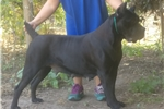 Picture of Cane Corso puppies for sale
