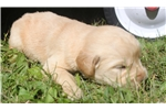 Picture of AKC Golden Retriever Puppy - Penelope
