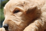 Picture of AKC Golden Retriever Puppy - Molly