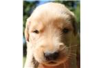 Picture of AKC Golden Retriever Puppy - Emma
