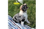 Picture of Blue Merle Male w/Blue Eyes