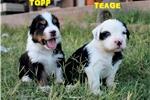 Picture of TOPP - Black-Tri Male