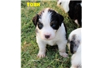Picture of TOSH - Black-Tri Male w/Blue Eyes