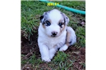 Picture of Blue Merle female w/natural bobbed tail