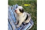 Picture of TREY - Blue Merle Male w/Blue Eyes