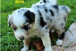 Picture of Blue Merle female w/Blue Eyes