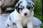 Picture of Blue Merle male w/Blue Eyes and Natural Bob Tail