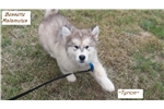 Picture of Tyrion-AKC Alaskan Malamute Puppy