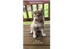 Picture of Red/White Female AKC