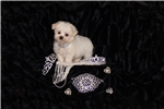 Picture of Teddy Bear Female Morkie Great Personality
