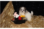 Picture of Gorgeous Loving Teddy Bear Face Female Morkie
