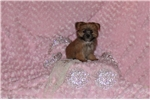 Picture of Cute LITTLE Female Morkie puppy