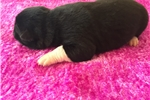 Picture of Female Puppy #4