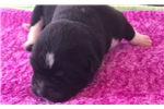 Picture of Female Puppy #3