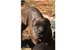 Beautiful Cane Corso Female | Puppy at 21 weeks of age for sale
