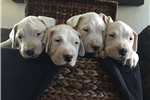 Picture of 6 week old Dogo Argentino Puppies