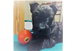 Picture of Adorable Scottie Pup for sale!