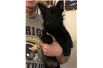 Picture of Adorable Male Scottie Pup for sale!