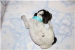 Picture of Wirehaired Pointing Griffon Puppies