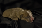 Picture of Olde English Bulldog puppies